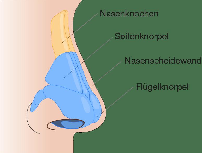Nasenkorrektur - Anatomie der Nase